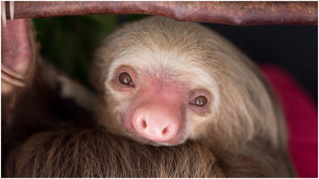 Sloth Released Into The Wild After Surviving Dog Attack ...